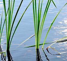 Reed Reflections #3 by kenspics