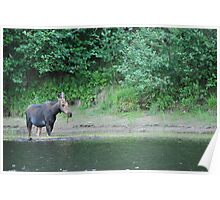 Moose at Vermillion River Poster
