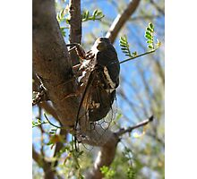 Cicada ~ Cacama Valvata (Male) Photographic Print