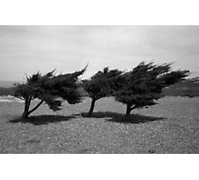 Three Cypruses Photographic Print