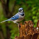 Blue Jay on Stump - Ottawa, Ontario by Michael Cummings