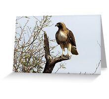 Red-tailed Hawk ~ Poser Greeting Card