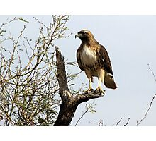 Red-tailed Hawk ~ Poser Photographic Print