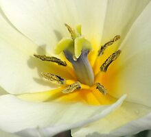 Close Up Tulips by buster51003