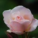 Baby Pink Rose... by Carol Clifford