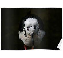 Strange faced bird! Phillip Island Wildlife Parks, Vic. Poster