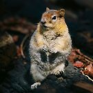 Golden Mantal Ground Squirrel by Nancy Stafford