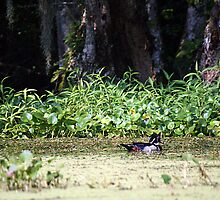 Wood Duck on the River by RebeccaBlackman