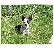 Tiny Chihuahua Poster