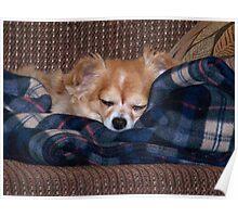 Long Coat Chihuahua Sleeping Poster