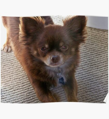 Chocolate Long Coat Chihuahua  Poster