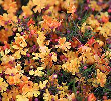 Orange Stars - Hibbertia stellaris by EnviroKey