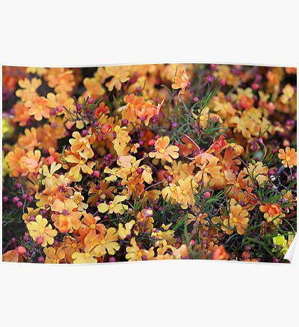 Orange Stars - Hibbertia stellaris Poster