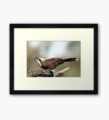 Grey-crowned Babbler Framed Print
