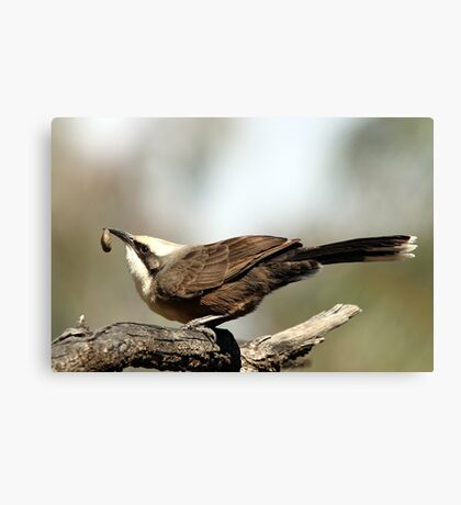 Grey-crowned Babbler Canvas Print