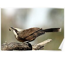 Grey-crowned Babbler Poster