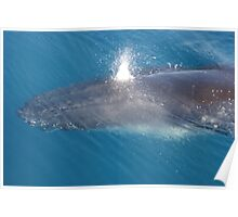 Hervey Bay Whale Poster