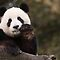 ENDANGERED SPECIES - Pandas