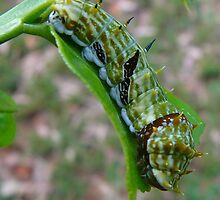 Citrus Swallowtail Butterfly Caterpillar by elsha