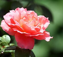 A Rosey Year by WalnutHill