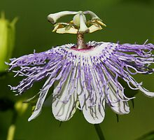 Purple Passionflower by Wolf Read