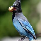 Stellar's Jay With a Beak-full by Wolf Read