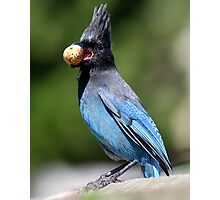 Stellar's Jay With a Beak-full Photographic Print