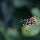Spider by David Devine