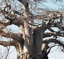 Boabab Tree by Betty Smith_Voce