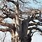 TREES in Africa / BOME in Afrika