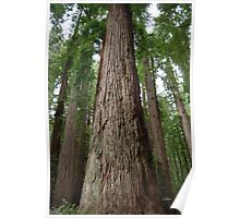 """Mama Tree"" - Stout Grove Redwoods Poster"