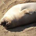 Basking Elephant Seal by sunrisern