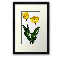 Backlit Yellow Tulips Framed Print