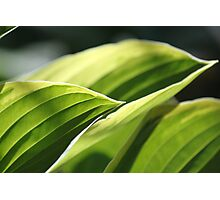 Hosta Waving Photographic Print