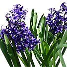 Two Purple Hyacinths by Susan Savad