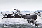 Humpback Whale going to the Birds! by Michael S Nolan