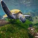 Green Sea Turtle feeding by Michael S Nolan