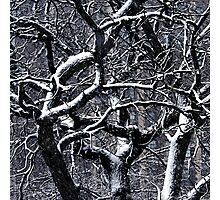 tangled up in snow Photographic Print