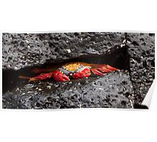 Sally Lightfoot Crab Poster