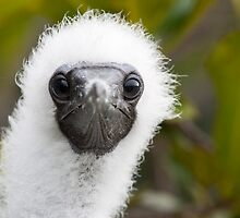 Red-Footed Booby Chick by tara-leigh