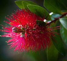 Aussie Bottlebrush by ImagesbyDi