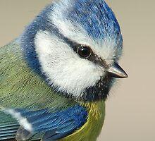 Blue Tit by barnowlcentre