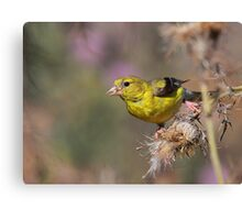 American Goldfinch on Thistle Canvas Print