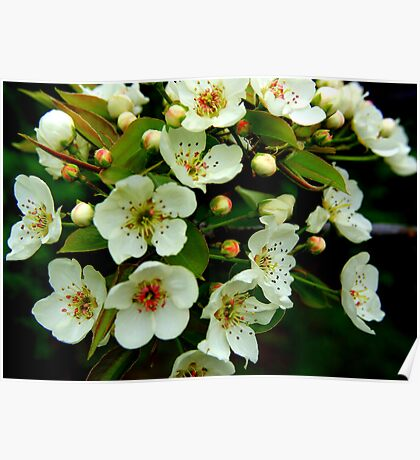 Apple Tree Blossoms 1 Poster