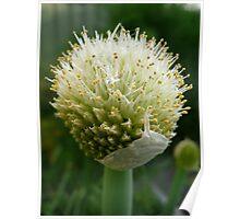 Garlic Flower Poster