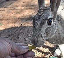 Hand-feeding Jill, the Jackrabbit (Updated Feb 2011) by Lenny La Rue, IPA