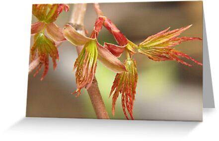 Japanese maple, budding leaves... by byzantinehalo