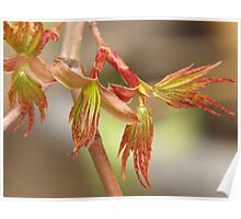 Japanese maple, budding leaves... Poster