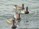Atlantic Brant Geese - Branta bernicla hrota by MotherNature