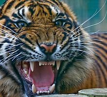 Do not Disturbed the Tiger by Elaine123